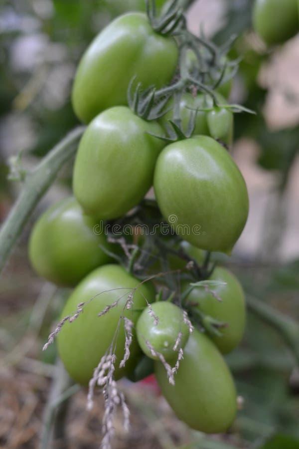Grünes unausgereiftes Tomate ` s, das an einer Tomatenpflanze im Garten, selektiver Fokus hängt stockbild