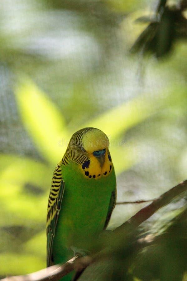 Grünes und gelbes Budgie-Vogel Melopsittacus undulatus stockbilder