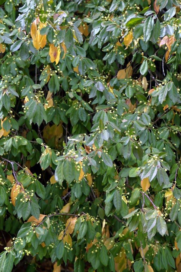 Grünes und gelbes Laub eines Busches mit Beeren im Frühherbst stockfotografie
