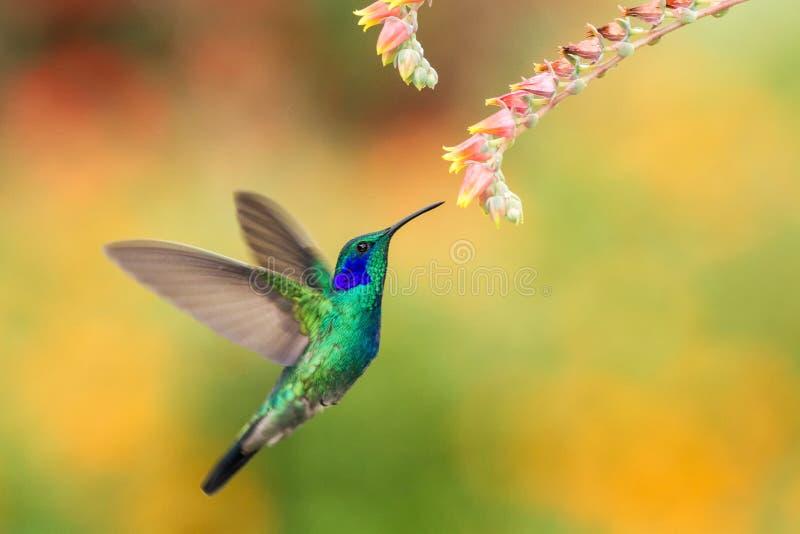 Grünes violetear nahe bei roter Blume, Vogel im Flug schweben, Gebirgstropischer Wald, Costa Rica stockfotografie