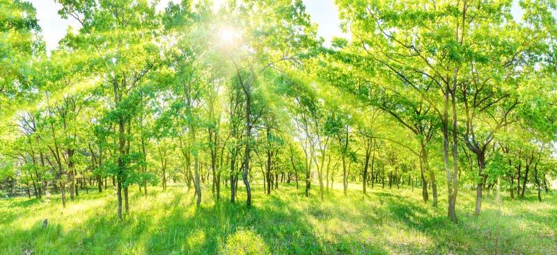 Grünes Waldpanorama stockfotografie