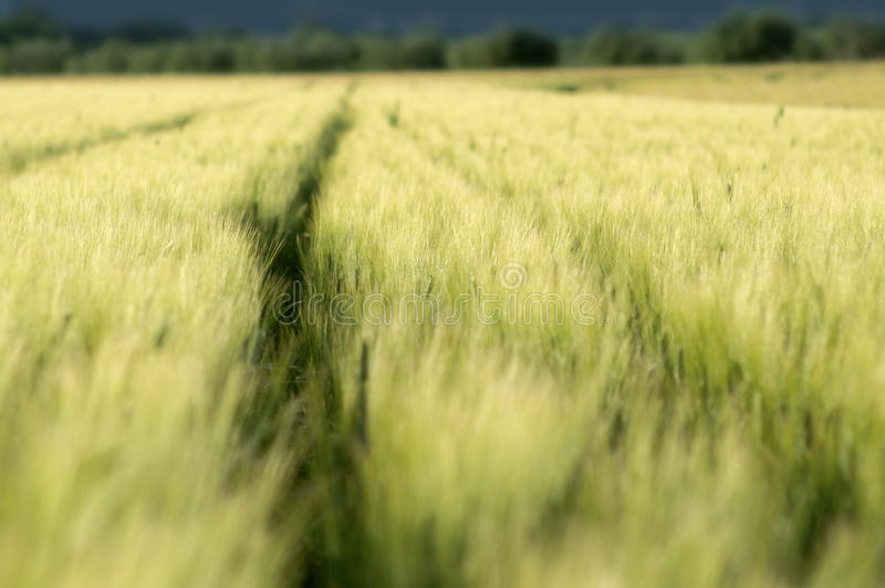 Grünes Weizen Feld stockfoto