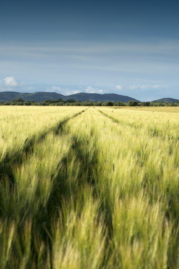 Grünes Weizen Feld stockfotografie