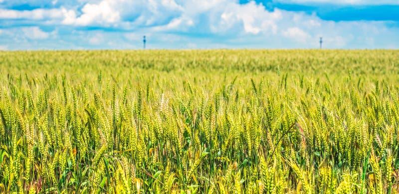 Grünes Weizenfeld mit blauem Himmel im Hintergrund lizenzfreies stockfoto
