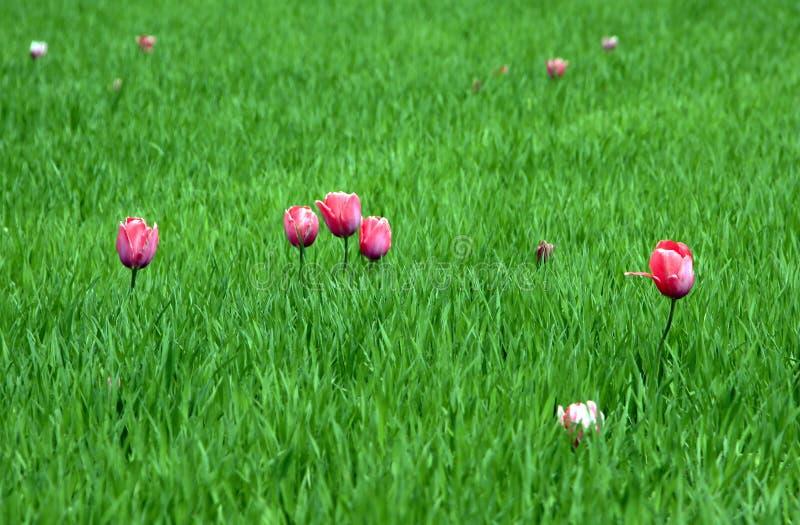 Grünes Weizenfeld mit Tulpen stockbild