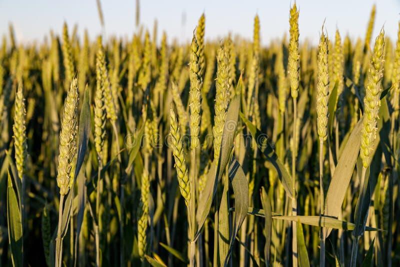 Grünes Weizenfeld am Sommerabend stockfoto