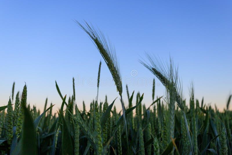 Grünes Weizenfeld am Sommerabend lizenzfreies stockbild