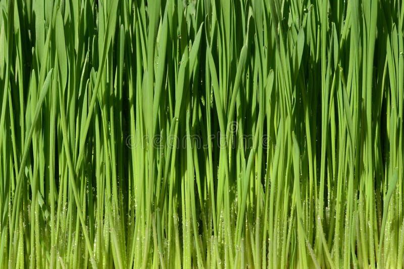 Grünes Weizengras mit Wassertropfen lizenzfreie stockbilder