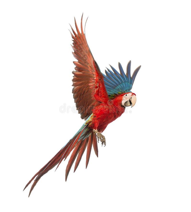 Grünflügeliger Macaw, Ara chloropterus, einjährig, fliegend stockfoto