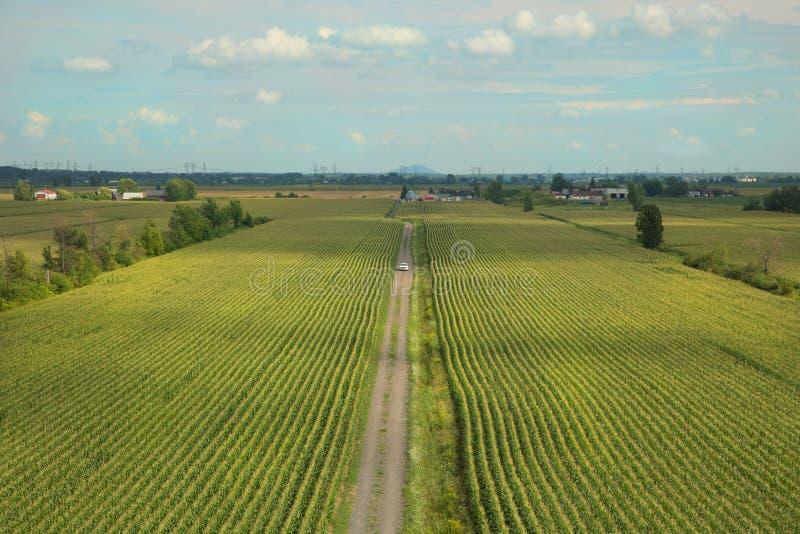 Grünkernfeld im blauen Himmel lizenzfreie stockfotos