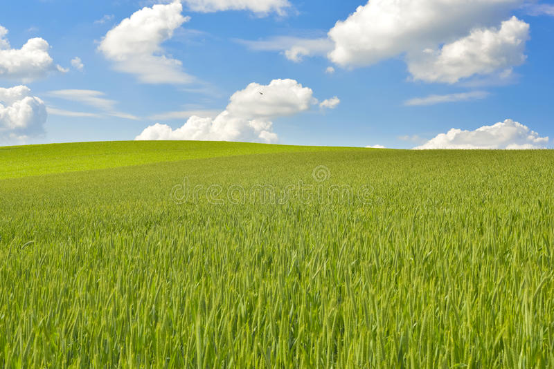 Grünkernfeld mit tiefem blauem Himmel stockfotos