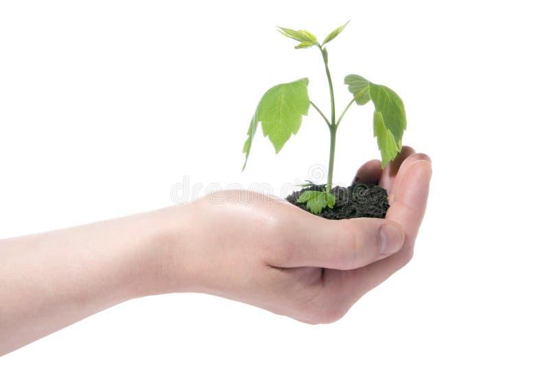 Grünpflanze in der Hand lizenzfreies stockfoto