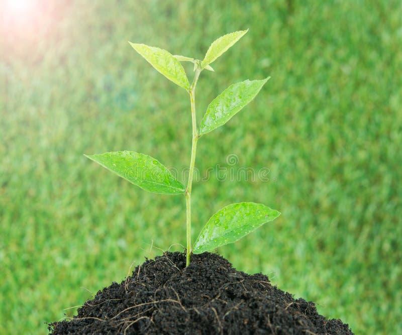 Grünpflanze des jungen kleinen neuen Lebens stockbild