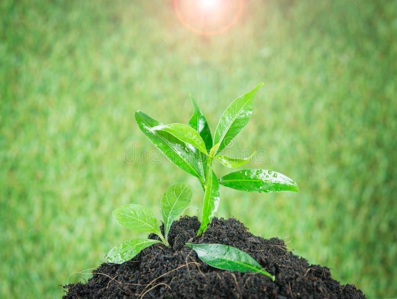 Grünpflanze des jungen kleinen neuen Lebens stockfotos