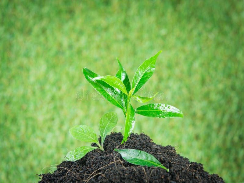 Grünpflanze des jungen kleinen neuen Lebens lizenzfreies stockbild