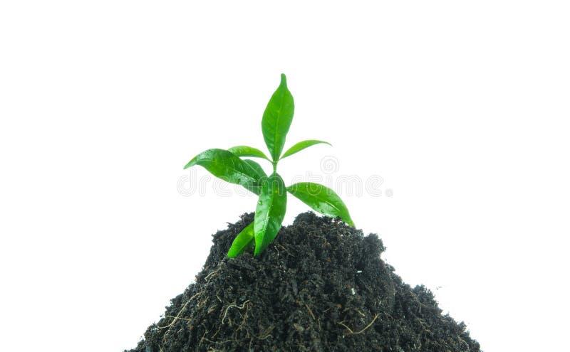 Grünpflanze des jungen kleinen neuen Lebens stockfoto
