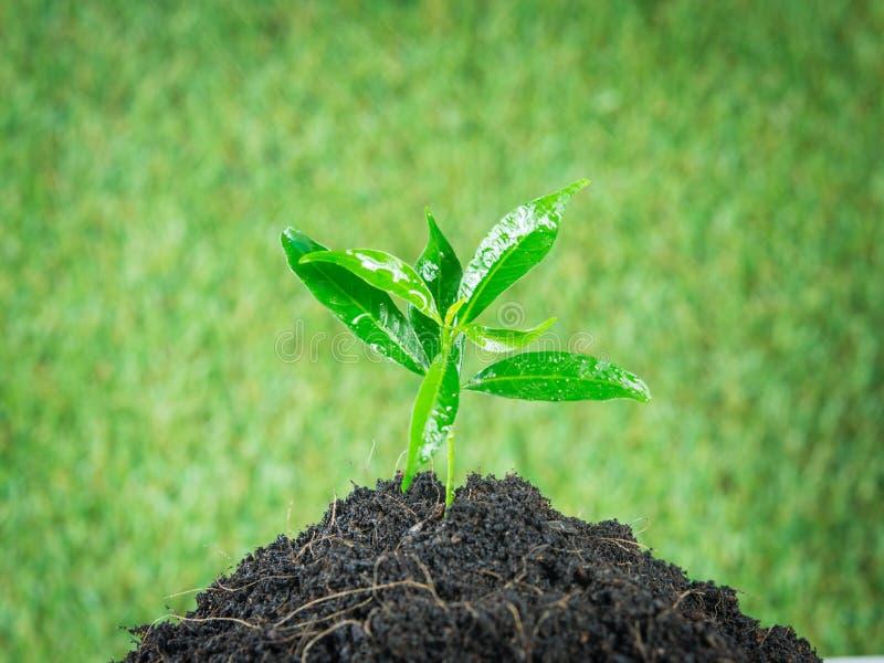 Grünpflanze des jungen kleinen neuen Lebens lizenzfreie stockfotos