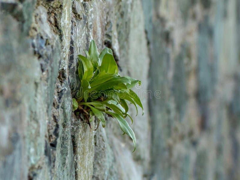 Grünpflanze, die aus aquamarinem Stein heraus wächst stockbilder