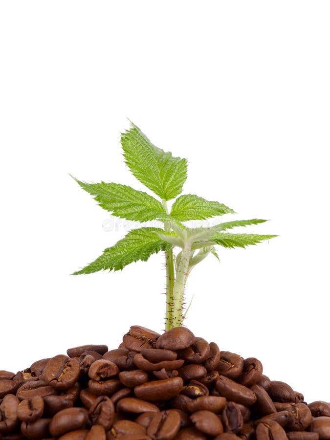 Grünpflanze, die in den Kaffeebohnen wächst lizenzfreie stockbilder