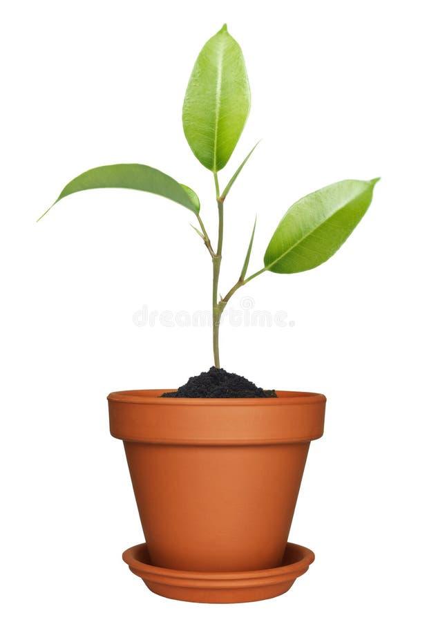 Grünpflanze, die im Potenziometer wächst stockbild