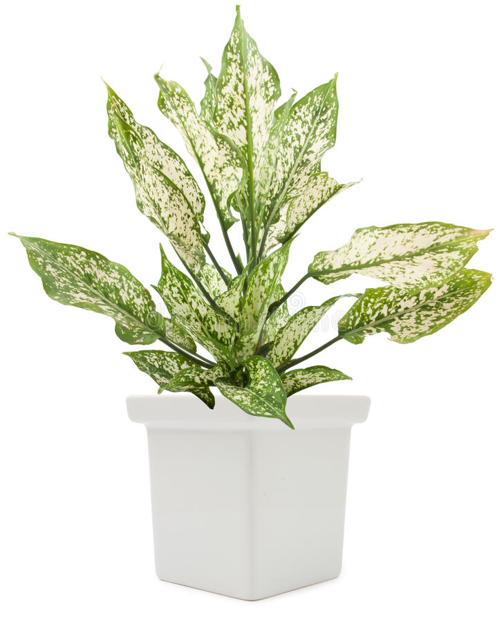 Grünpflanze Dieffenbachie-Lat Dieffenbachia im Blumentopf lizenzfreie stockfotografie