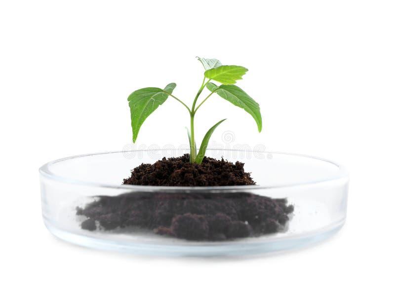 Grünpflanze mit Boden in Petrischale lokalisierte Biochemie stockfotografie