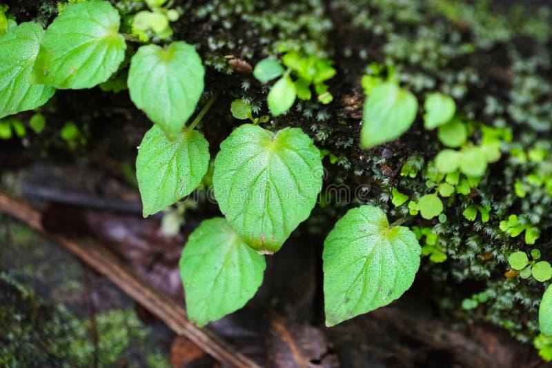 Grünpflanzeblätter im wilden Wald stockfotos