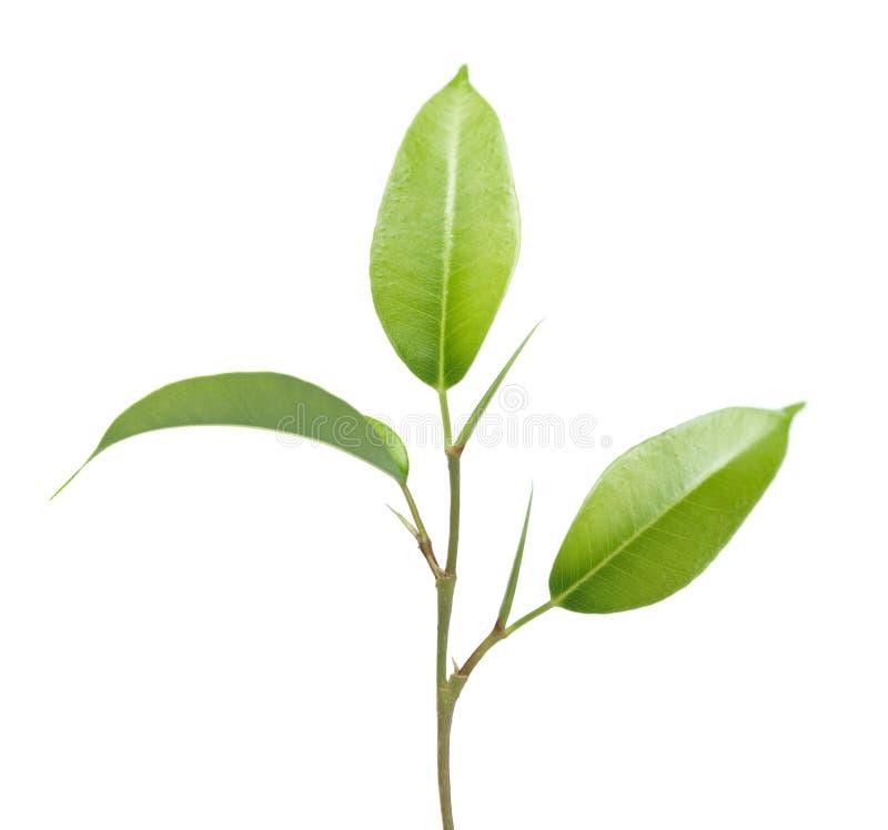 Grünpflanzeblätter und -stamm stockbild