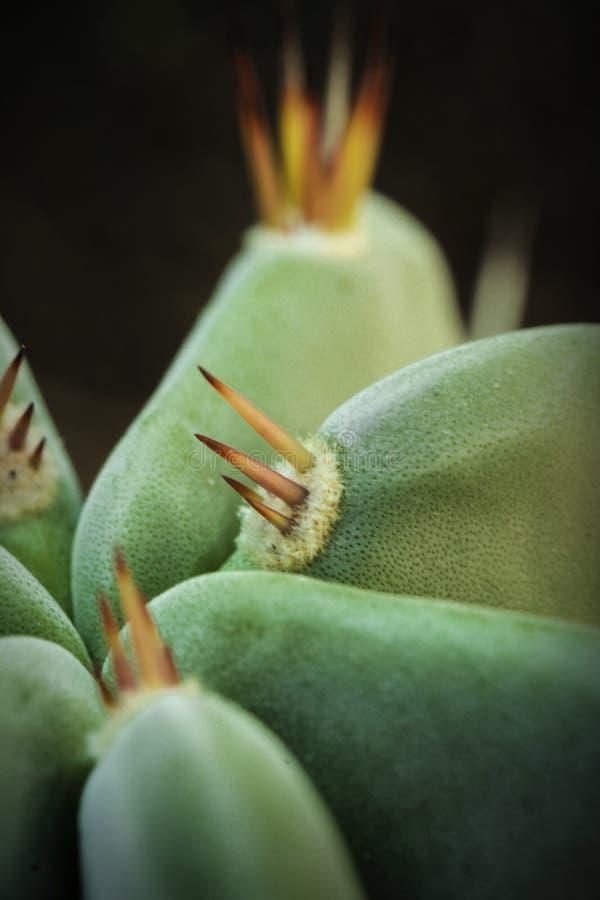 Grünpflanzekaktus mit Dornenmakrofoto stockbilder