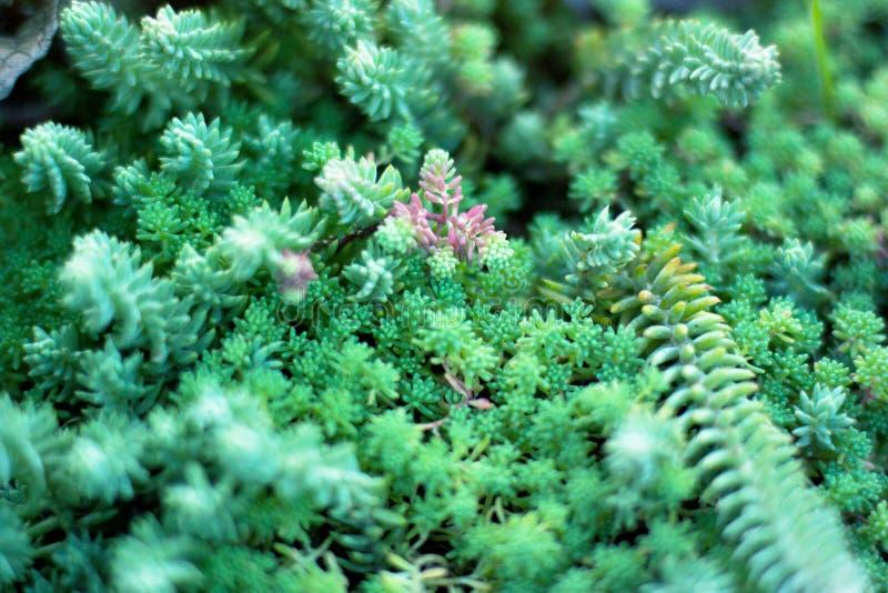 Grünpflanzen der Succulents Schließen Sie oben von Mischminiaturkakteen Minimalist mit Blumen für floristry Geschäft stockfotografie