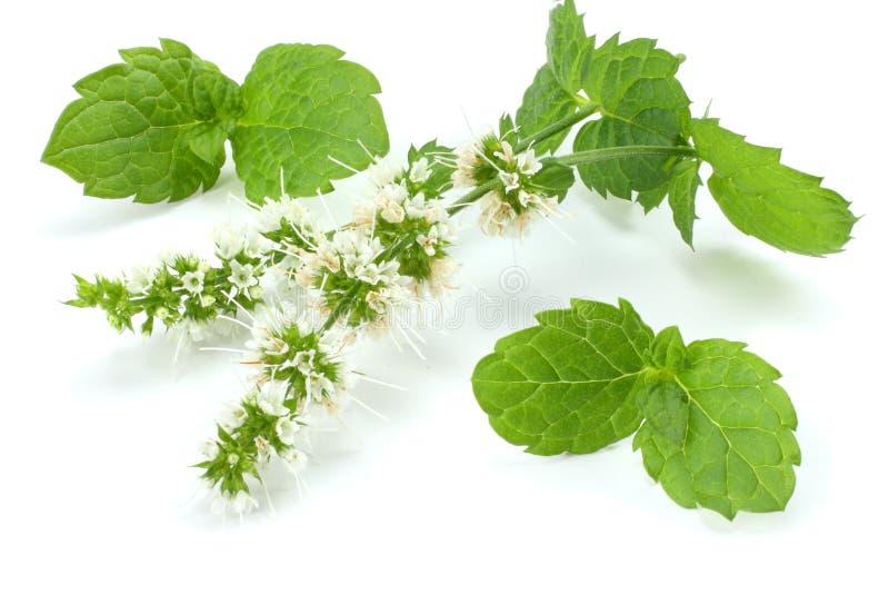 Grünpflanzen des tadellosen Blattes auf weißem Hintergrund, aromatische Eigenschaften der Pfefferminz von den starken Zähnen lizenzfreie stockfotografie
