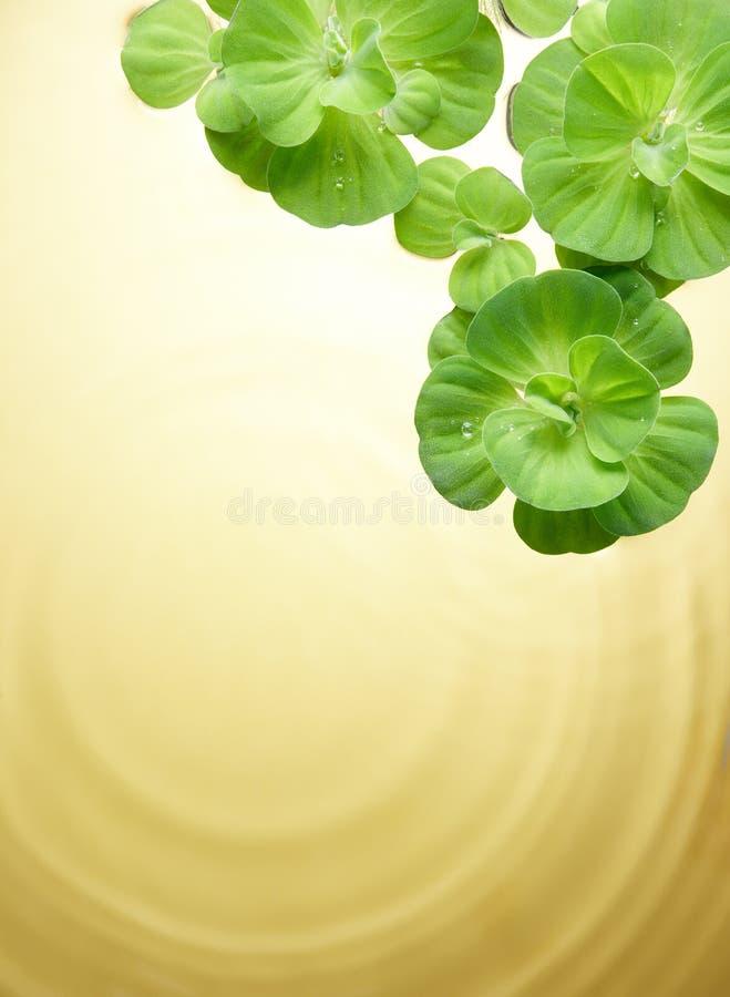 Grünpflanzen, die auf Wasser schwimmen stockfotos