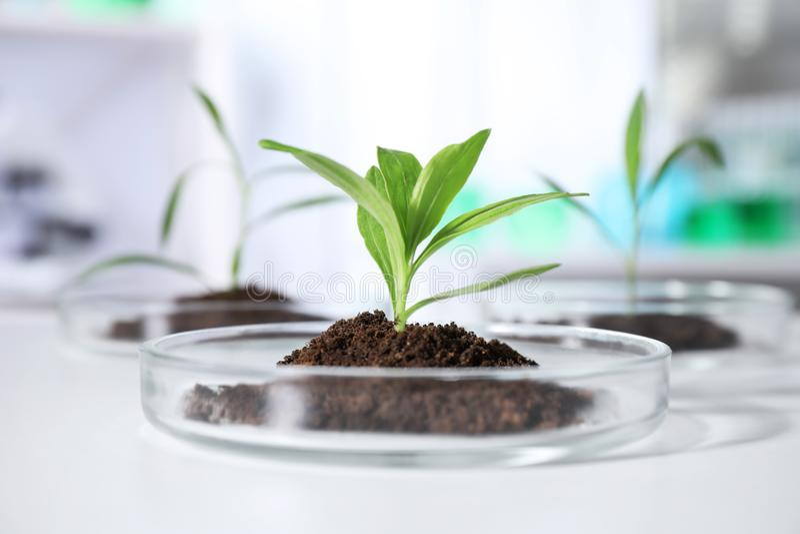 Grünpflanzen in Petrischalen auf Tabelle Biochemie lizenzfreies stockfoto
