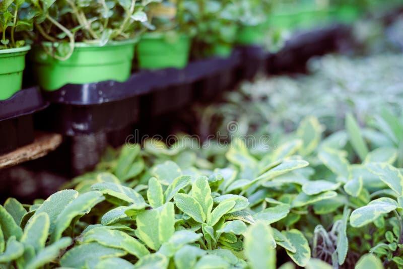 Grünpflanzen in rohem Zeilendisplay, Nahaufnahme der Töpfe stockbilder