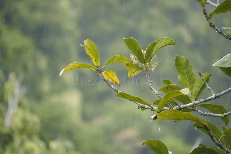 Grünpflanzen und starker Regen im Regenwald stockfotos