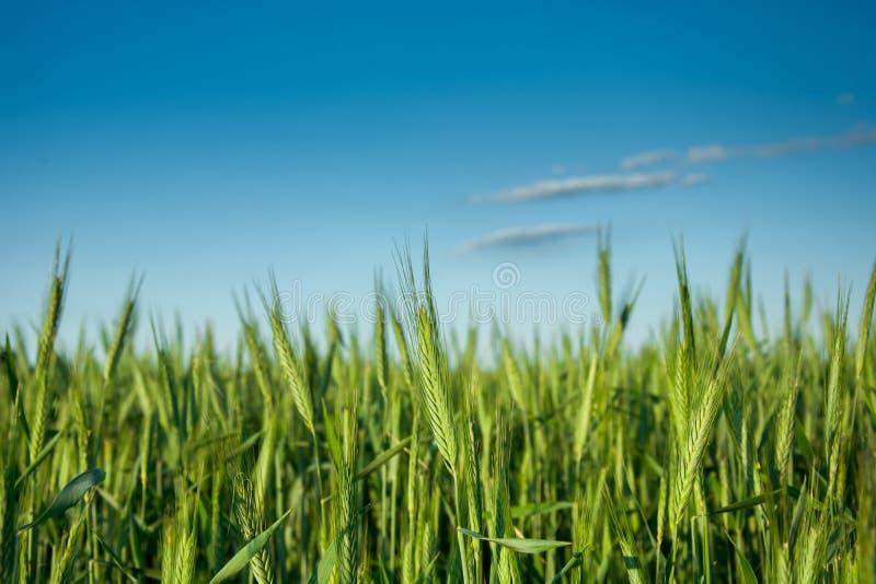 Grünroggenohren auf Feld und Wolke auf blauem Himmel lizenzfreies stockfoto