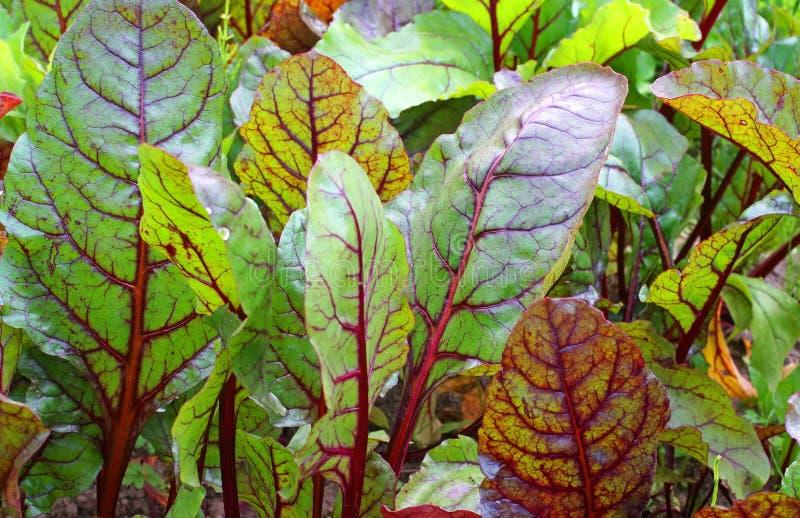 Grüns der roten Rübe im Garten stockfoto