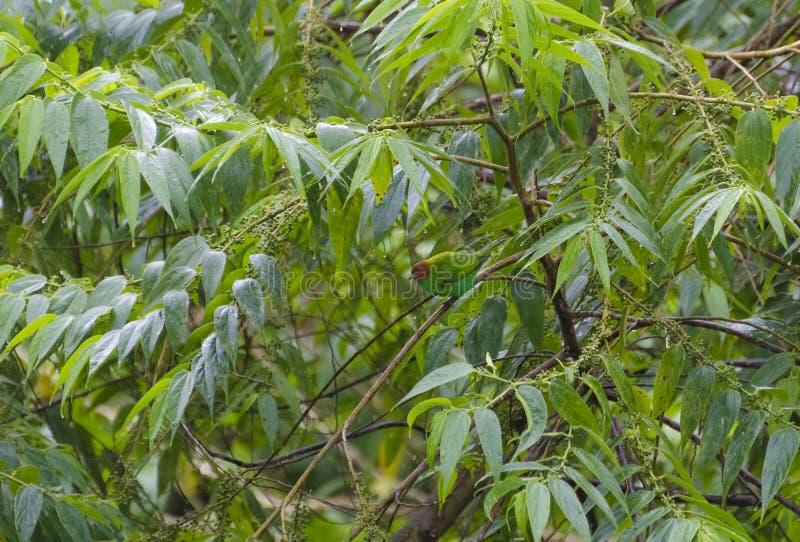 Grüntangare getarnt im Regen stockbilder