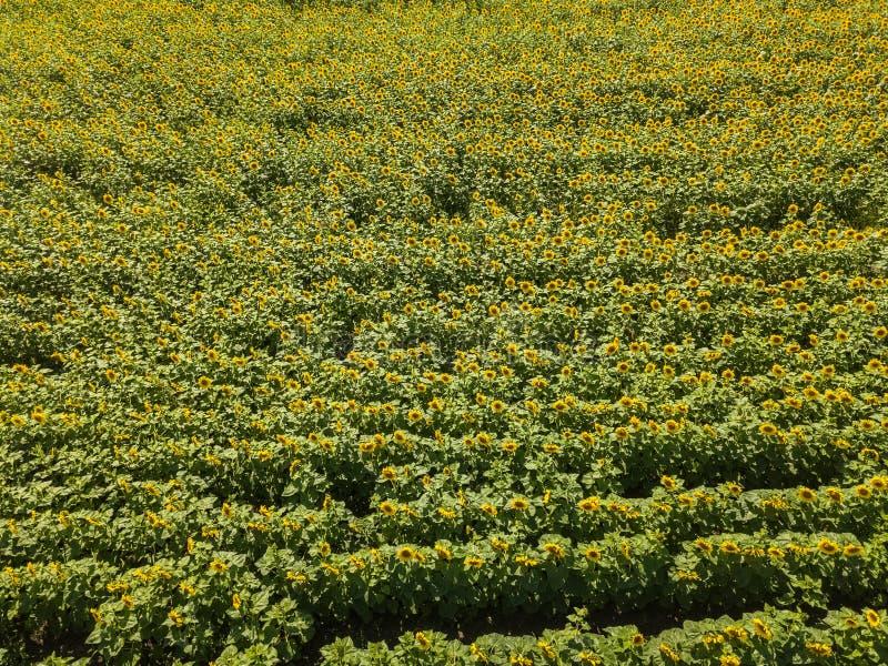 gr的成熟的向日葵的一个大彩色场的鸟瞰图 免版税库存图片