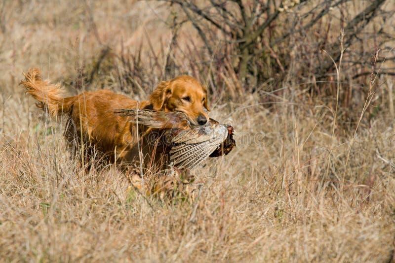 GR-goldener Apportierhund mit Fasan stockfoto