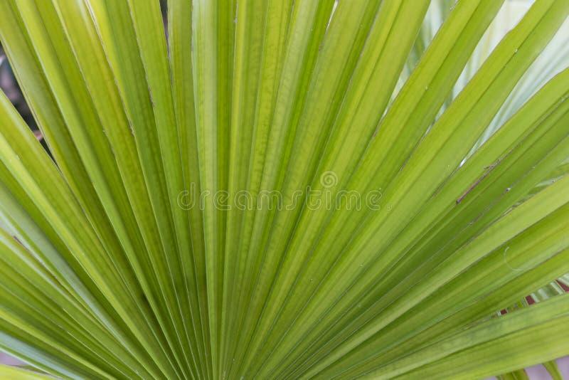 Gr?n bakgrund Nya saftiga gröna sidor av växten Långa randiga palmblad royaltyfri bild