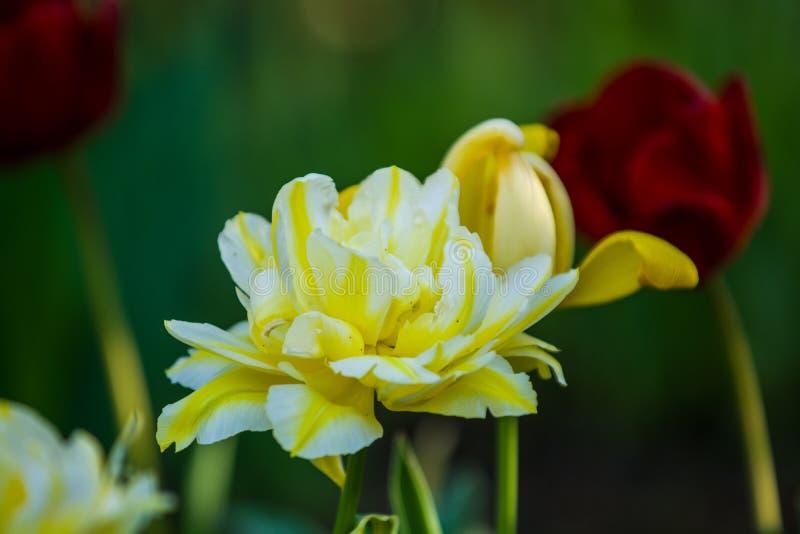 Gr?n gl?nta fr?n gula ovanliga och dekorativa f?rger av tulpan p? en v?rnedg?ng h?rlig natur royaltyfria bilder