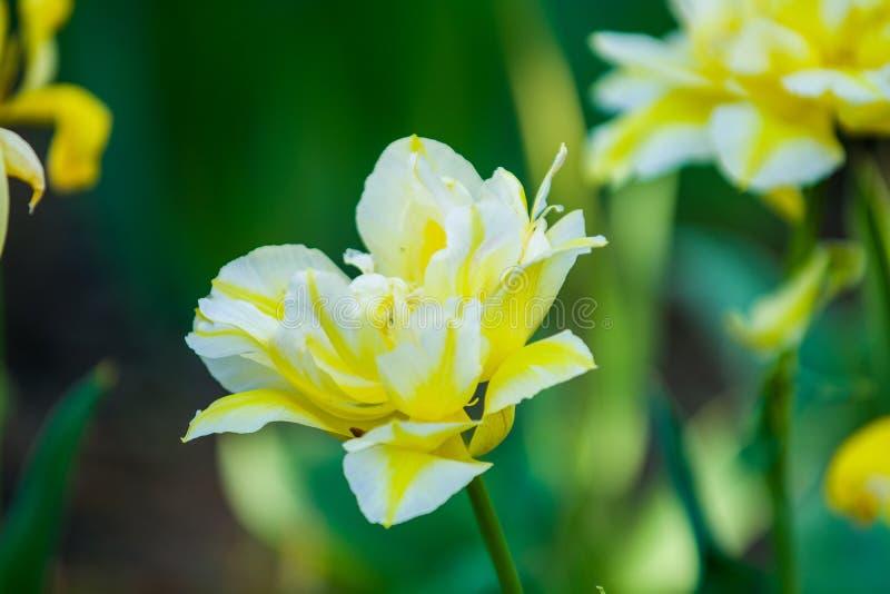 Gr?n gl?nta fr?n gula ovanliga och dekorativa f?rger av tulpan p? en v?rnedg?ng h?rlig natur royaltyfri fotografi