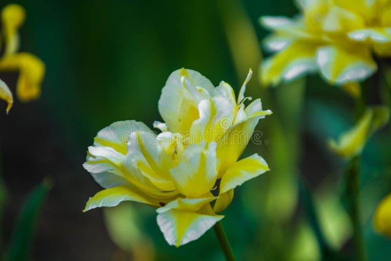 Gr?n gl?nta fr?n gula ovanliga och dekorativa f?rger av tulpan p? en v?rnedg?ng h?rlig natur royaltyfri bild