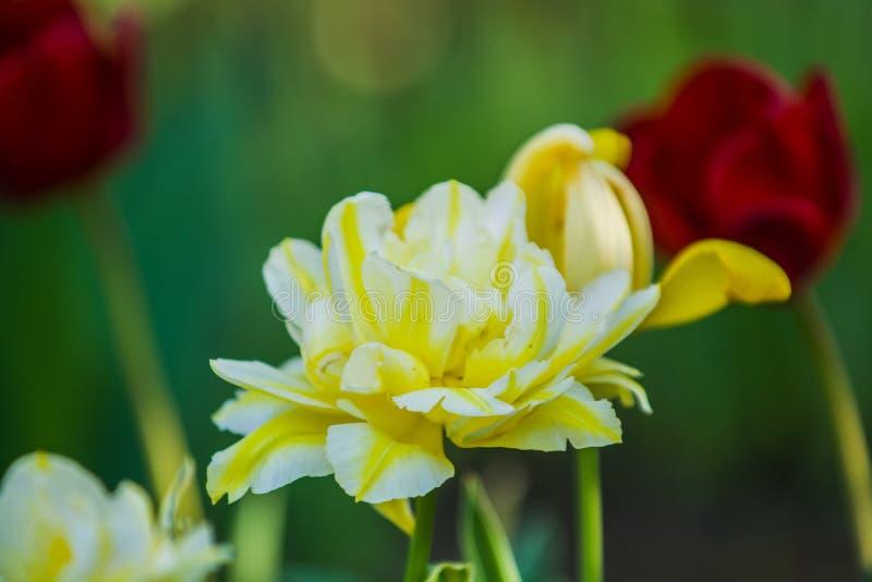 Gr?n gl?nta fr?n gula ovanliga och dekorativa f?rger av tulpan p? en v?rnedg?ng h?rlig natur fotografering för bildbyråer