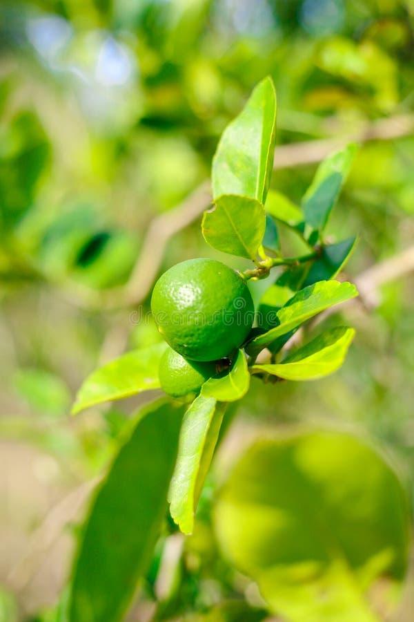 Gr?n limefrukt p? tr?det royaltyfri foto
