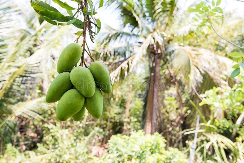 Gr?n mango som h?nger, mangof?lt, mangolantg?rd Jordbruks- begrepp, jordbruks- branschbegrepp Mangofrukt p? tr?det i tr?dg?rd royaltyfria foton
