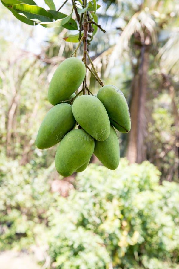 Gr?n mango som h?nger, mangof?lt, mangolantg?rd Jordbruks- begrepp, jordbruks- branschbegrepp Mangofrukt p? tr?det i tr?dg?rd arkivfoto