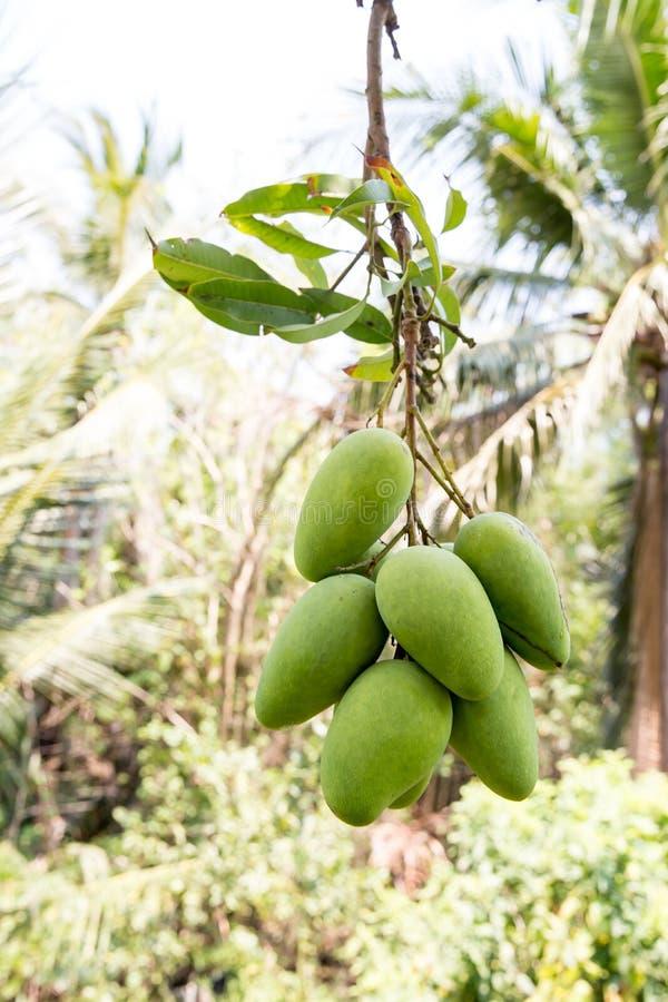 Gr?n mango som h?nger, mangof?lt, mangolantg?rd Jordbruks- begrepp, jordbruks- branschbegrepp Mangofrukt p? tr?det i tr?dg?rd royaltyfri bild