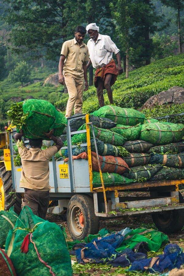 Gr?n Munnar-Teeplantagen-Keralas Indien lizenzfreies stockfoto